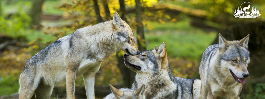 photo loups foret nature parc animalier sainte croix